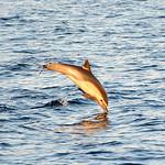 Acrobatic Common Dolphin