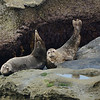 Couple of Harbor Seals with in cute picture