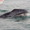 Baby Gray Whale showing baleen
