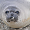Curious Elephant Seal Weaner