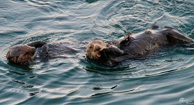 Feeding Otters