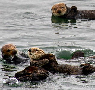 Sea Otter Colony