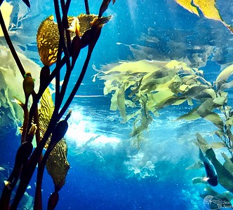Kelp Forest Canopy