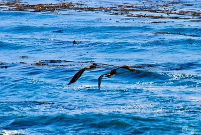 Pelican Flight Patrol