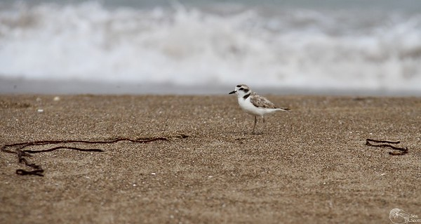 Snowy Plover Morning
