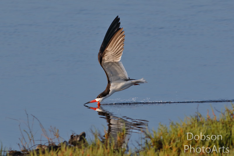 Reflections of a Black Skimmer