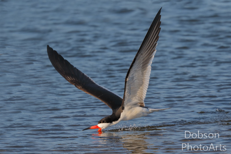 Black Skimmer Skimming and Observing