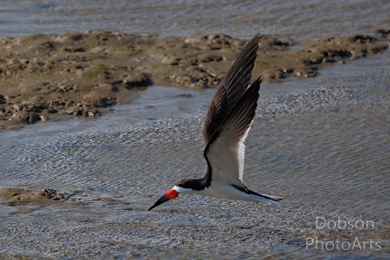 Black Skimmer - inspects the shallows for prey