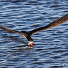 Black Skimmer  open-beak skimming