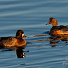 Scaup and Wigeon