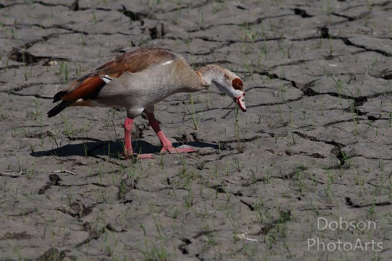 Egyptian Goose Foraging