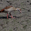 Egyptian Goose Foraging