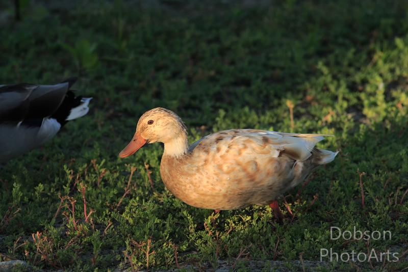 Leucistic Mallard Duck