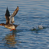 Merganser Taking_off - 2
