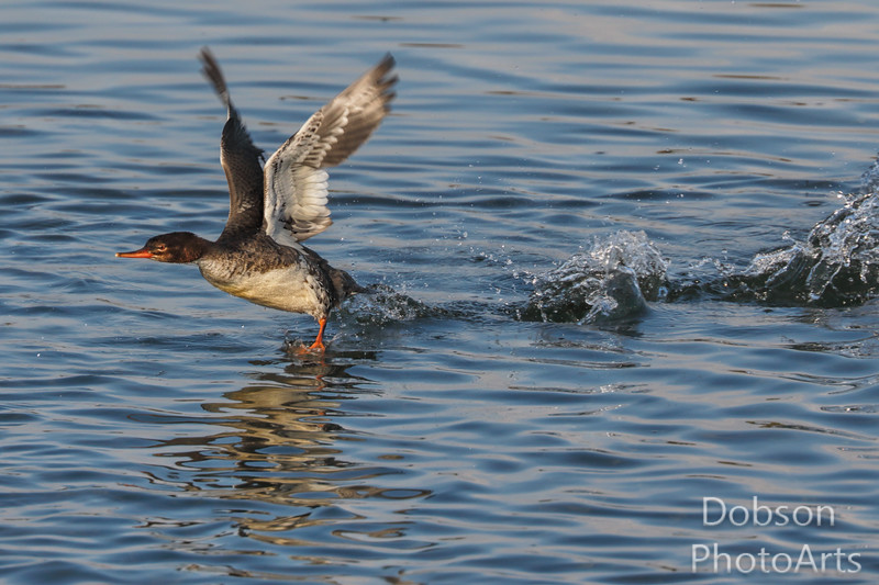 Merganser on the Move - 1