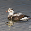 Immature Long-tailed Duck