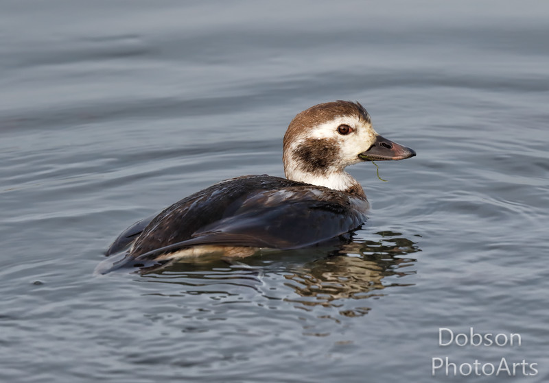 Immature Long Tailed Duck