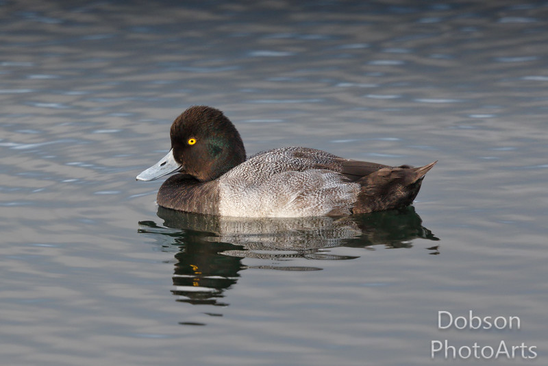 Adult Scaup - profile