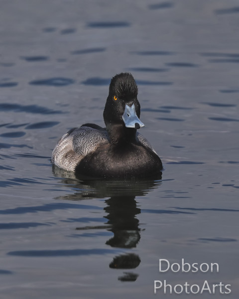 Greater Scaup  Staking his territory