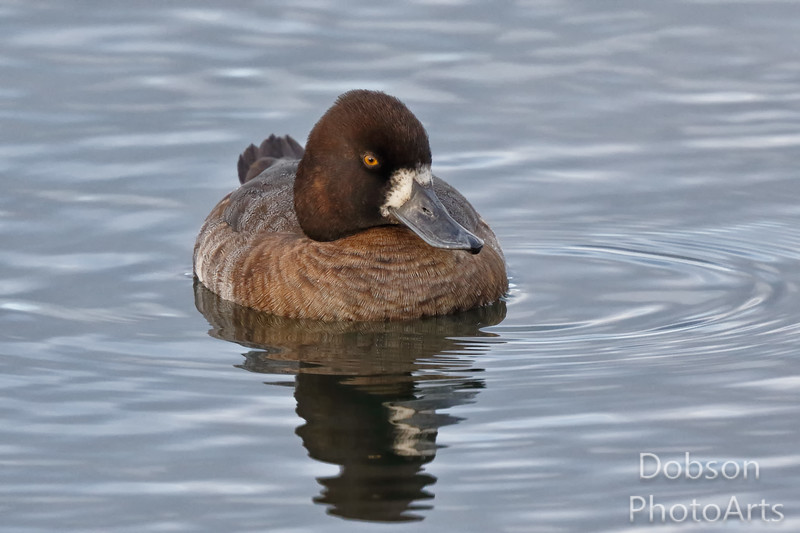 Greater Scaup Afloat