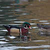Wood Ducks on the water