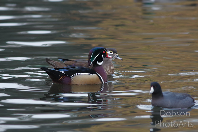 Wood Ducks and Coot