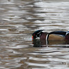 Wood Duck afloat