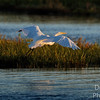 Great Egret Interisland express