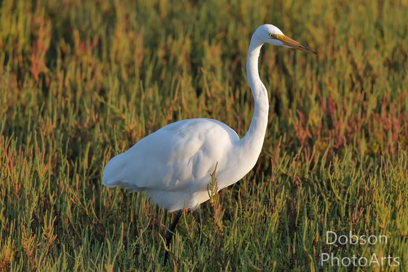 Great Egret searching for a meal in late afternoon sun