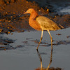 Reddish egret hunting at sunset