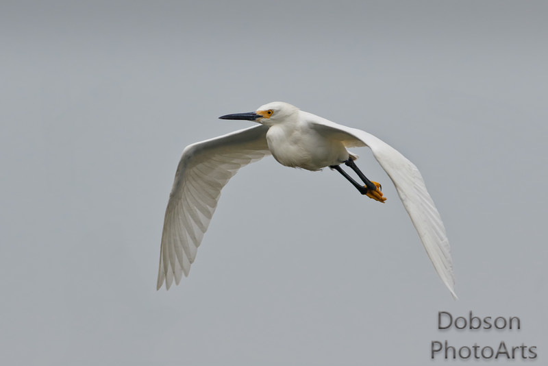 Snowy Egret on Patrol