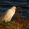 Snowy Egret basking in the late afternoon sun