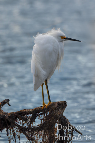 Snow Egret In The Wind
