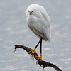 Snowy Egret on Guard Duty