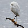 Snowy Egret on Guard Duty