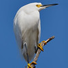 Snowy Egret perched at the top of a tree