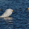 The meeting of the snowy egret clan