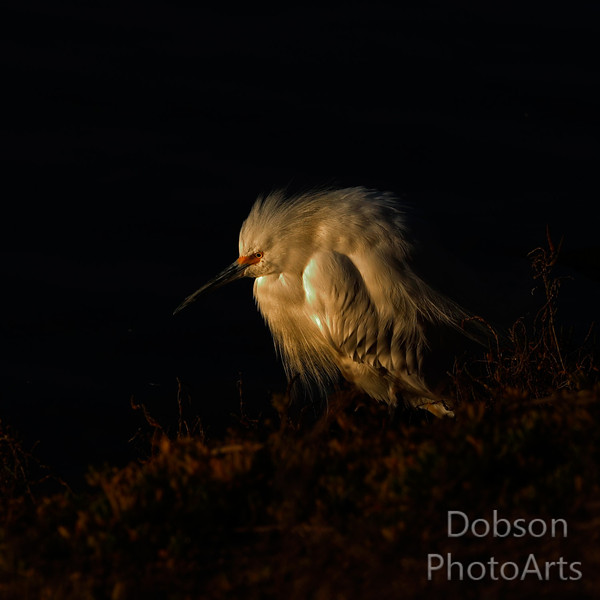 Snowy Egret fluffed-up  at dawn