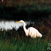 White Egret in Autumn