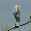 A high-wire egret