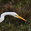 Great Egret Eying a Potential meal