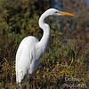 White Egret patiently waiting for food to arrive