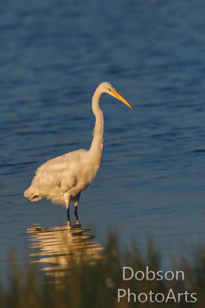 Great Egret fishing at sunrise