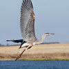 Hurrying Heron