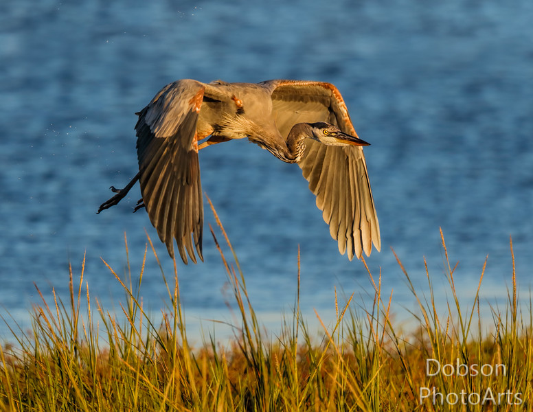 Great Blue Heron on the chase