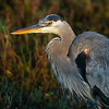 Great Blue Heron at Dawn