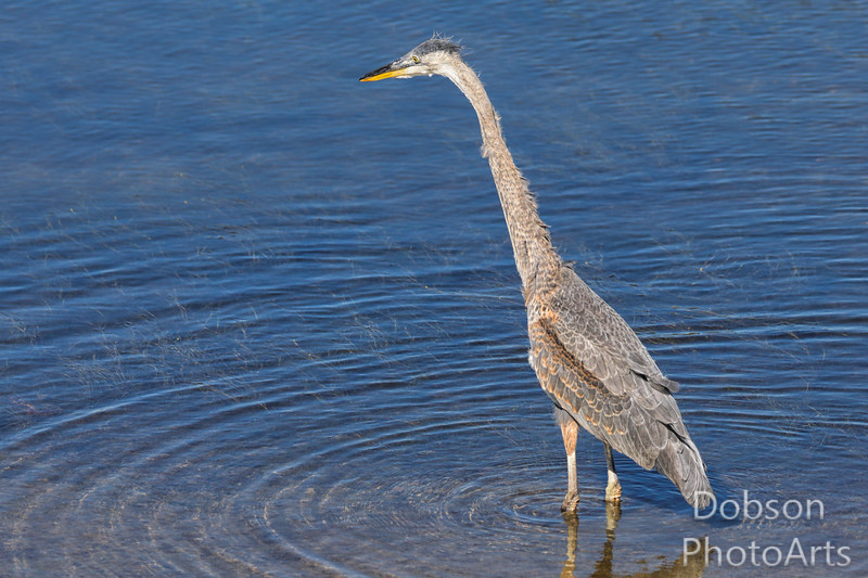 Young Heron Learning to Fish