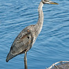 Young Blue Heron