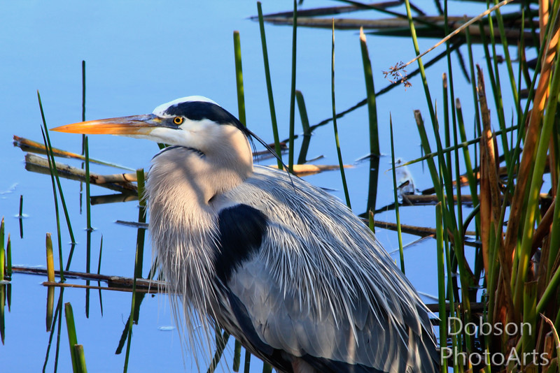 Great Blue Heron Dressed to Kill