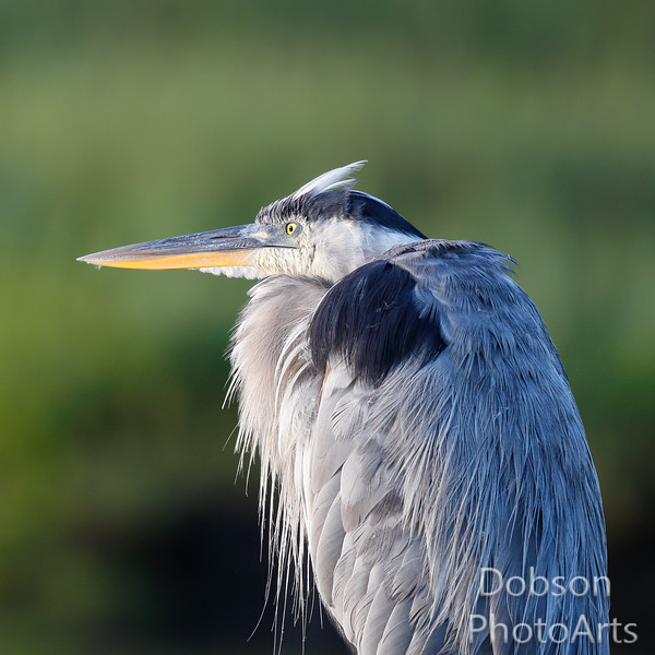 Sometimes I think I'm a wolf in  a Heron suit